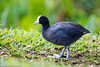 Hawaiian Coot, Hanalei NWR, Kawai, Hawaii, US (Manuel ROMARIS) Tags: kauai coot hanaleinationalwildliferefuge hawaii hawaiiancoot usa princeville unitedstates us