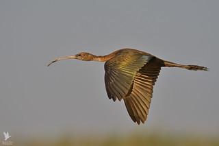 Glossy Ibis - Íbis-preta