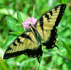 Eastern tiger swallowtail (Steve4343) Tags: steve4343 nikon 7200 appalachian trail cherokee national forest red green blue yellow orange white clouds sky beautiful tennessee autumn beauty johnson county lake watauga cloud colorful woods garden gardens happy leaves rocks wildlife landscape mountain tree trees grass water wood butler summer spring macro flower flowers at butterfly eastern tiger swallowtail