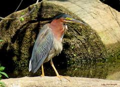 Green Heron (Lois McNaught) Tags: greenheron bird avian waterfowl nature wildlife hamilton ontario canada