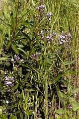Eriodictyon californicum (California Yerba Santa) (birdgal5) Tags: california placercounty folsomlakesra folsomlakestaterecarea beeksbight nativeshrub boraginaceae californiayerbasanta yerbasanta eriodictyon eriodictyoncalifornicum nikon d100 105mmf28dmicro inaturalistorg
