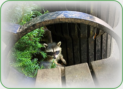 Hopeful...! (FernShade) Tags: vancouverbc stanleypark raccoon youngraccoon raccoonbegging nature wildlife animal parkwildlife procyonlotor