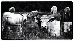 Virginia Cows (Bcpix.com) Tags: cows film filmphotography 35mm 35mmfilm 35mmslr cattle blackandwhite monochrome