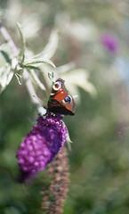 (Mrs.Black&White) Tags: zenitb helios44258mmf2 handprocessed c41process tetenalc41 kodak kodacolor200 35mmfilm butterfly