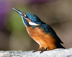 Martin Pêcheur d'Europe (MalcedoP) Tags: animal alcedoatthis nature faune kingfisher loire nievre
