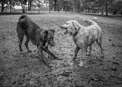 Bruno and the Bully (piano62) Tags: dogs mansbestfriend fun funny rain mud bully fearless chicago hornerpark sonya7rii sony28mmf2