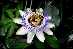 Blüte (h.bresser) Tags: blüte pasionsblume grugapark gruga essen hbresser hartmutbresser