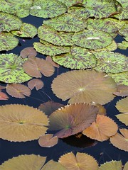 Chicago, Garfield Park Conservatory, Outside Garden, Lily Pads (Mary Warren 11.5+ Million Views) Tags: chicago garfieldparkconservatory garden park nature flora plants green leaves foliage lilypads