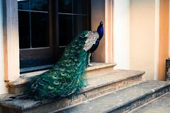 Peacock in Wallenstein Garden (laurenspies) Tags: malástrana prague praha czechrepublic českárepublika europe bohemia čechy hlavníměstopraha czechia cz wallensteingarden peacock bird valdštejnskázahrada