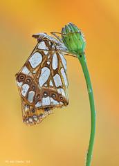 Espejitos (gatomotero) Tags: olympusomdem1 mzuiko60 macrofield verano ambiente amanece primerasluces espejitos mariposa butterfly aliste rabanales zamora