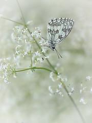 Upside down and sweet dreams ((Ruud) Reddingius) Tags: dambordje marbledwhite melanargia contréxeville farmland papillon butterfly vlinder butterflies