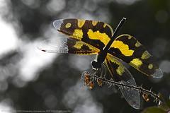 DRAGON HAS LANDED (GOPAN G. NAIR [ GOPS Creativ ]) Tags: gops gopan g nair gopsphotography gopsorg photography dragonfly perspective onam onathumbi rhyothemis variegata picture wing