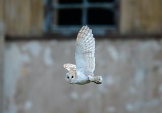 Barn Owl Nr Fakenham 14-09-2018-3595
