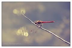 Demoiselle... (Les photos de Cécé) Tags: libelulle rouge eau branche proxi pentax kx 70200mm