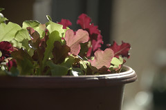 scruff's lettuce (Justin van Damme) Tags: lettuce red green patio scruff guinea pig sunny