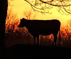 Evening Silhouette (clarkcg photography) Tags: cow cattle bovine sunset silhouette glow hairglow angus black orange yellow red evening fauna livestock sundayfauna 7dwf sunshinesunday
