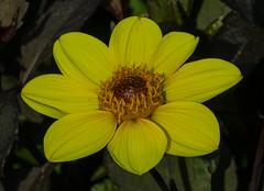 Bishop of York dahlia (frankmh) Tags: plant flower dahlia bishopofyorkdahlia sofiero helsingborg skåne sweden macro