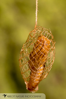 Urodid (False Burnet Moth) pupa 20180811_4257.jpg