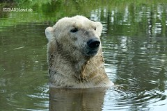 Felix - Nanu - Eisbären - AquaZoo Friesland/NL (ElaNuernberg) Tags: eisbärfelix eisbärnanu aquazoofriesland zoo zooanimals zootiere eisbär polarbear ijsbeer isbjorn ourspolaire niederländischerzoo jääkaru ursusmaritimus niedźwiedźpolarny