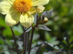 P7010399 (Asansvarld) Tags: flowers blommor växter växtlighet microfourthirds olympusomdem5 om50mmf18 summer sommar