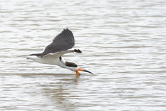 Skimming the Surface (J. E. Foster) Tags: caribbean fishing nikond7100 orangevalley rynchopsniger sigma150600mmf563dgoshsm trinidadandtobago animal bird blackskimmer nature wildlife