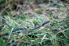 Who goes there? (WinRuWorld) Tags: snake easterngartersnake reptile animal fauna colubridae colubrid pa pennsylvania northamerica usa thamnophissirtalis canon canonphotography nature naturephotography wildlife wildlifephotography outdoors snakesofnorthamerica perspective