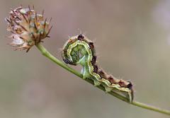 Unidentified Caterpillar (Wild Chroma) Tags: bulgaria caterpillar insects unidentified
