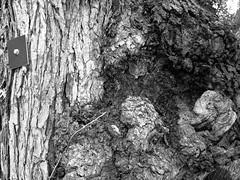 Gezeichneter Baum / Tagged Tree (bartholmy) Tags: hartford ct baum tree marke marker tag rinde borke bark treebark knorrig gnarly verwachsen warped outgrowth texture struktur minimal minimalism minimalismus minimalistisch abstrakt abstract schraube screw quadrat square fresgang borehole
