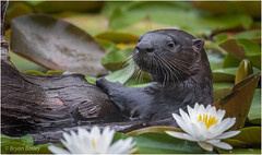 Northern River Otter (bbatley) Tags: mammal otter wildlife