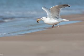 ''Le snack!''Goéland argenté-Herring gull