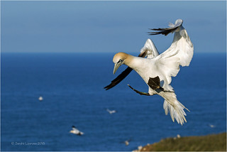 Incoming Gannet
