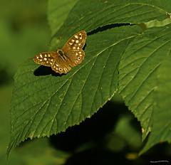 Speckled Wood (ianbartlett) Tags: outdoor leaves macro dragonflies butterflies fern spores light colour workman trees