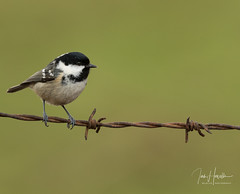 Coal tit (Ian howells wildlife photography) Tags: ianhowells ianhowellswildlifephotography nature naturephotography nationalgeographic canon canonuk coaltit wildlife wildlifephotography wales wild wildbird wildbirds w
