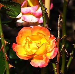 DSC_1036 (PeaTJay) Tags: nikond750 sigma reading lowerearley berkshire macro micro closeups gardens outdoors nature flora fauna plants flowers rose roses rosebuds