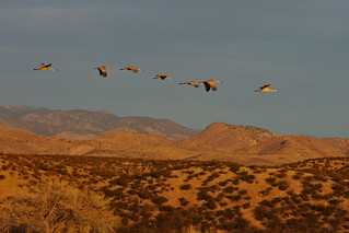 Sandhill Cranes flying over Chupadera Mountains in  sunrise light.  Bosque del Apache National Wildlife Refuge.  New Mexico, USA.