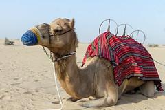 Camel / Dubai, UAE (Piotr Kowalski) Tags: dubai uae unitedarabemirates emirates dunes sand piasek pustynia dubaj emiraty wakacje summer activity caravan camel