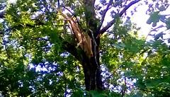 Storm damage - TMT (Maenette1) Tags: storm damage tree boxelder backyard menominee uppermichigan treemendoustuesday flicker365 allthingsmichigan absolutemichigan projectmichigan