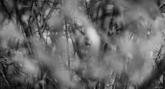 Dark Secrets (gorelin) Tags: sony alpha a7ii a7 zeiss fe55f18za 55mm blackandwhite bw blackwhite black white horror doll bushes