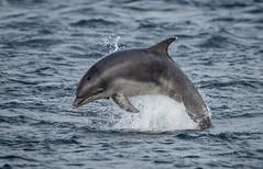 Bottlenose Dolphin (Tom Langlands Photography) Tags: blackisle scotland bottle bottlenosedolphin breach breaching chanonrypoint cromartyfirth dolphin dolphins fortrose mammal mammals morayfirth natureandwildlife scottish