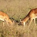 Impalas lock horns