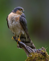 Sparrowhawk (jajjen) Tags: nature wildlife bird birds sparrowhawk