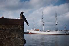 Stralsund, Hafen - Krähe, Segelschiff (tom-schulz) Tags: haldclut x100f rawtherapee stralsund thomasschulz hafen krähe vogel segelschiff sund strelasund wasser wolken