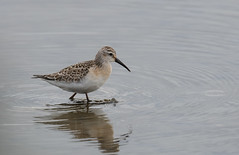 Curlew Sandpiper Titchwell-3551 (seandarcy2) Tags: wader birds wildlife wild sandpiper curlew curlewsandpiper norfolk uk titchwell rspb