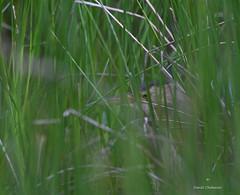 Partie de cache-cache . (PACHA23) Tags: laloire nature fauna wildlife faune roselière échassier viesauvage wadingbird héron