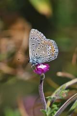 Argus bleu - Polyommatus icarus - Common blue (pablo 2011) Tags: patrickblondel collectionnerlevivantautrement toulouse nature nikond500 nikkor200500mm jardincompanscaffarelli étang pond macro proxi closeup insecte insect papillons butterflies argusbleu polyommatusicarus commonblue
