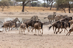 Wildebeests and zebras were running from the pond when they heard the engine roaming from a park ranger patrol aircraft in Tarangire National Park, Tanzania. (xiao_fan19454) Tags: wildebeest wildebeests zebra tarangire tarangirenationalpark tanzania safari africansafari