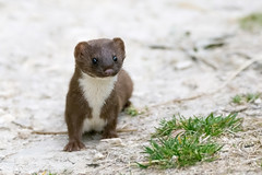 Stoat (Phil D 245) Tags: