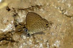 IMG_6154 (mohandep) Tags: hessarghatta lakes karnataka butterflies birding nature wildlife insects signs food