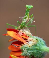 Gathering Seeds (dianne_stankiewicz) Tags: mantis flower prayingmantis gathering seeds petals nature wildlife