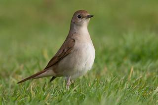 Nightingale-128